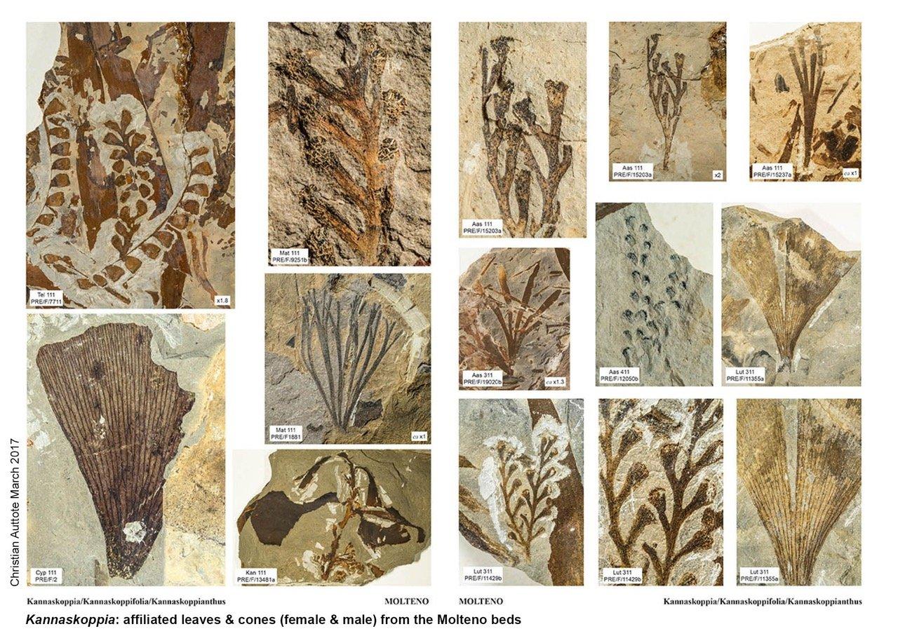 Kannaskopia affiliated leaves and cones