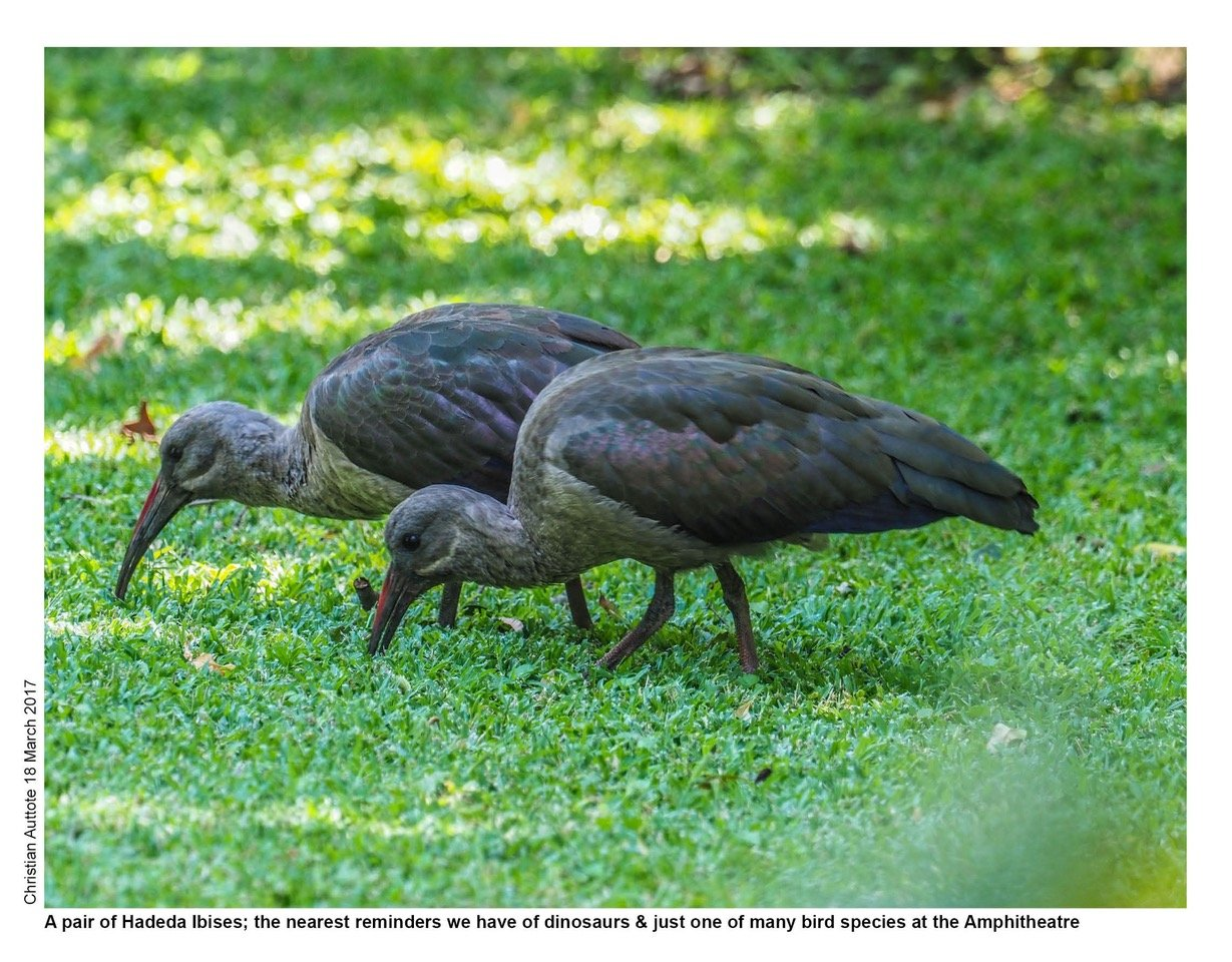 A pair of Hadeda Ibis